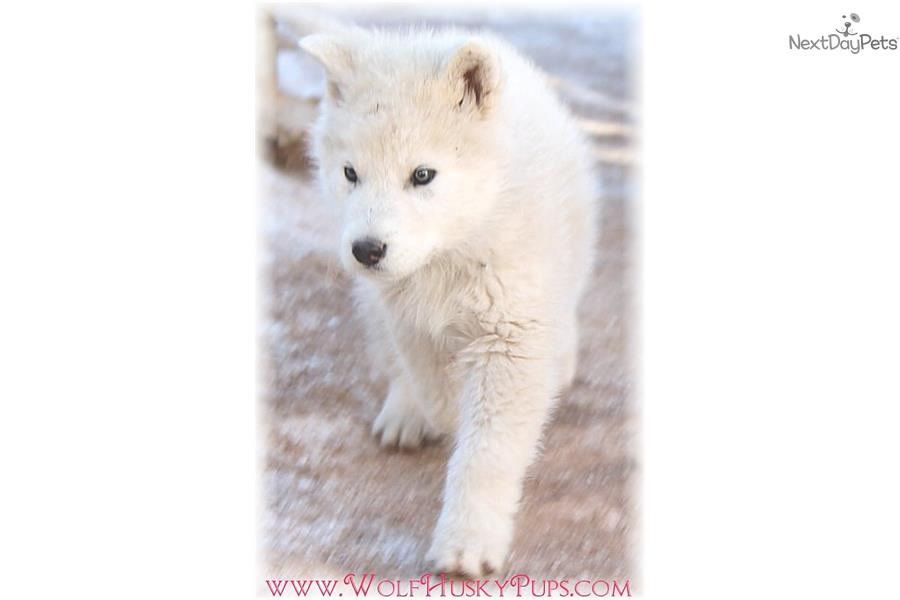 rare wolf dogs wolf hybrid puppy for sale near las vegas nevada 959f3485 b3b1. Black Bedroom Furniture Sets. Home Design Ideas