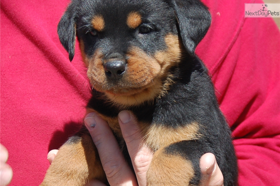 how to pick a show quality rottweiler puppy