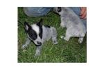 Picture of a Queensland Heeler Puppy