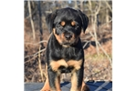 Picture of Ready Now!  AKC Rottweiler Import Champion Parents