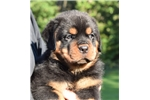 Queensland Heeler for sale