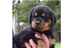 Picture of Beautiful AKC Reg Female Rottweiler Champion Lines