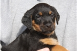 Picture of Ready Now! AKC Female Rottweiler Puppy417-733-4818