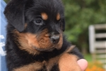Picture of Gorgeous AKC Reg Male Rottweiler Champion Lines