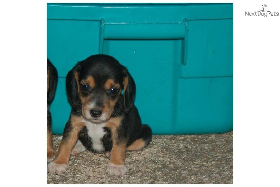 very-small-----akc-beagle-puppy-417-733-4818dog-beagle-puppy-ee74b374 ...