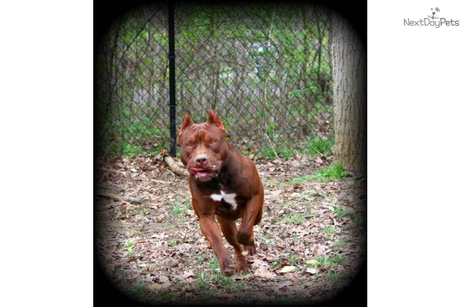 Red nose american pitbull terrier image search results dog breeds