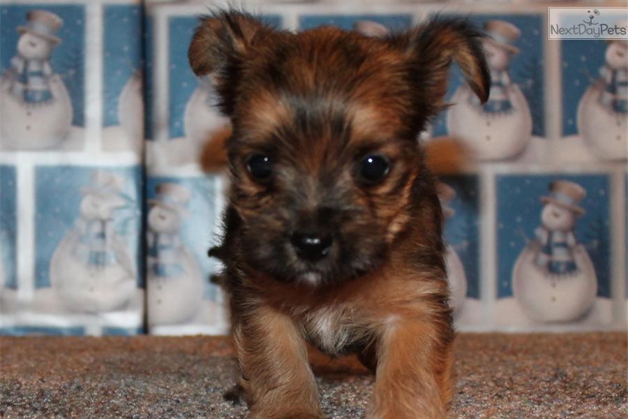 Chorkie puppy for sale near Springfield, Missouri | 3414a081-6cd1