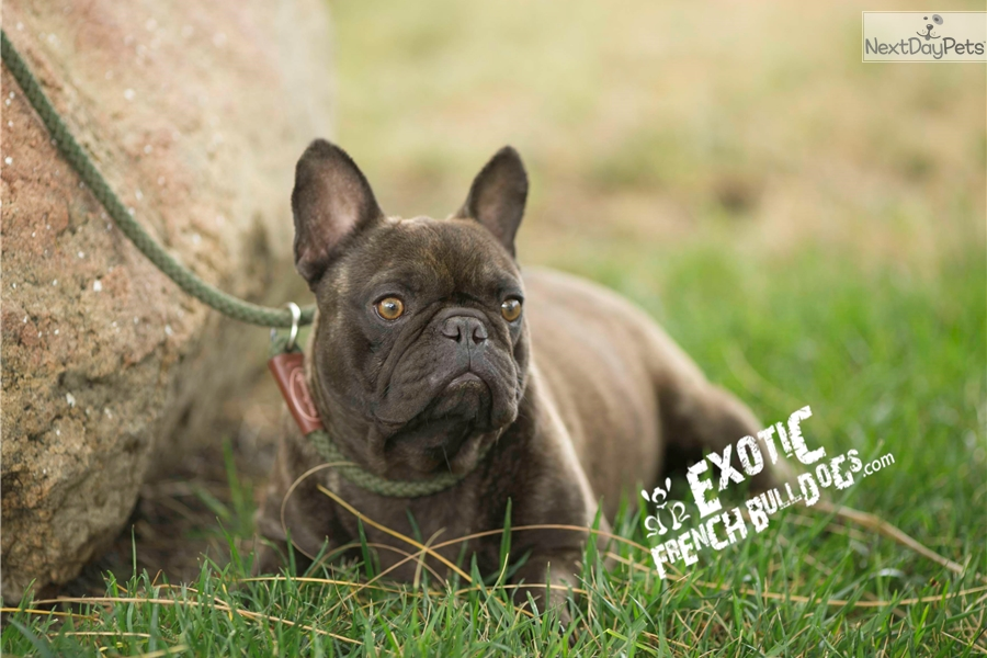 French Bulldog puppy for sale near Inland Empire, California ...