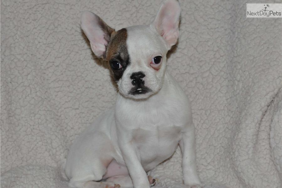 French Bulldog puppy for sale near Inland Empire ...