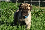 Picture of ***** Shaw *****  Reverse Brindle