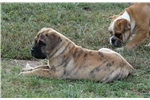 Bullmastiff for sale