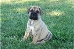Picture of ***** Hobbs *****  Reverse Brindle