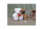 Picture of a Boxerdoodle Puppy