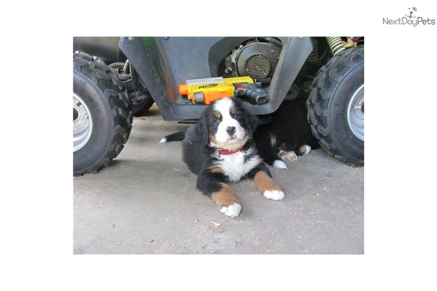 Bernese Mountain Dog Puppies For Sale Ma