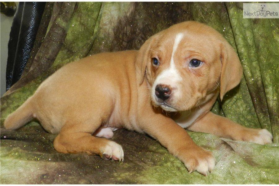Mountain Cur puppy for sale near Springfield, Missouri | 0698c954-1c91