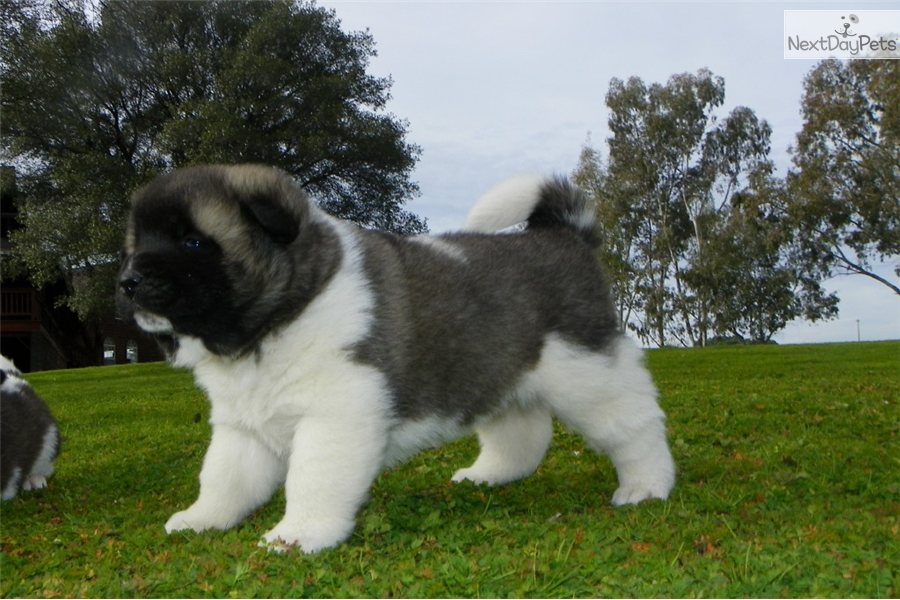 Akita Puppies Akita Breeders Akitas For Sale Akitas | HD