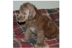 Picture of Loving AKC bedlington Terrier puppies
