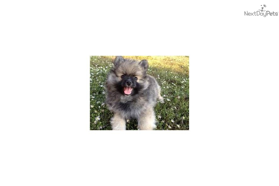 Pomeranian for sale for $450, near Dallas / Fort Worth ...