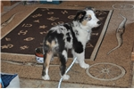 Picture of Aussies-Gorgeous  Blue Merle Male with blue eyes