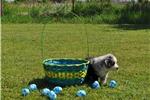 Picture of  Blue Merle Mini Male  #1 Australian Shepherd
