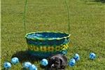 Picture of Black Tri Toy Australian Shepherd male Puppy
