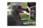Picture of a Scottish Deerhound Puppy