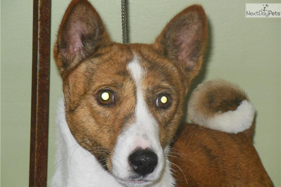 Meet Ripley a cute Basenji puppy for sale for $1,700. Brindle Show ...