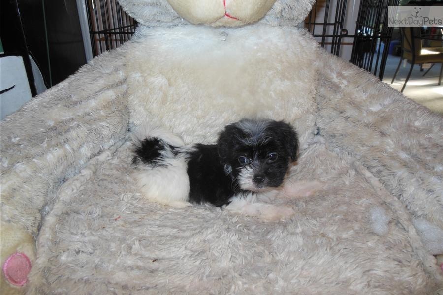 Meet Pop A Cute Havanese Puppy For Sale For 800 Micro