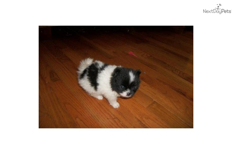 Akc Pomeranian Female Pup For Sale In Louisville Mississippi
