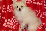Picture of AKC Elvis
