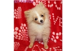 Picture of AKC Jelly Bean