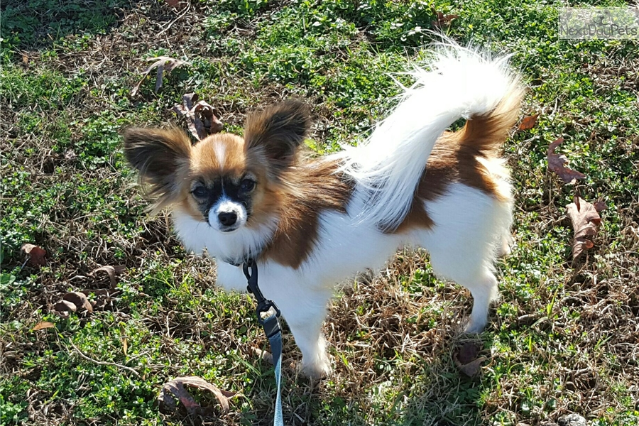 Brown: Papillon puppy for sale near Atlanta, Georgia ...