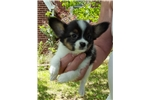 Picture of AKC Lillie Pending