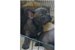 FRENCH BULLDOG PUPPIES FOR SALE | Puppy at 9 weeks of age for sale
