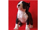MINI BULL TERRIER PUPPIES | Puppy at 13 weeks of age for sale
