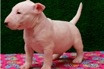 MINI BULL TERRIER PUPPIES | Puppy at 9 weeks of age for sale