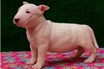 Picture of MINI BULL TERRIER PUPPIES 1-855-325-3334