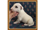 Picture of MINI BULL TERRIER PUPPIES 321-332-0453