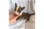 MINI BULL TERRIER PUPPIES | Puppy at 8 weeks of age for sale