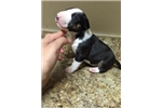 Picture of MINI BULL TERRIER PUPPIES 321-701-0367