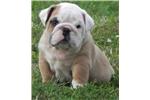 Picture of Texas ~ Flashy AKC Male English Bulldog!!