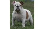 Picture of Flash ~ Nice, Cute & Fat AKC Male English Bulldog