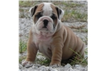 Picture of Zane ~ Gorgeous AKC Male English Bulldog!!