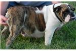 Picture of Katie ~ BRED AKC Female English Bulldog