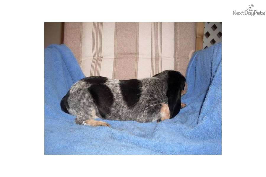 AKC Bluetick Beagles Henderson BeaglesForSaleOnline.com