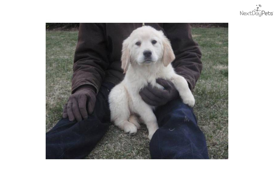 free golden retriever puppies indiana