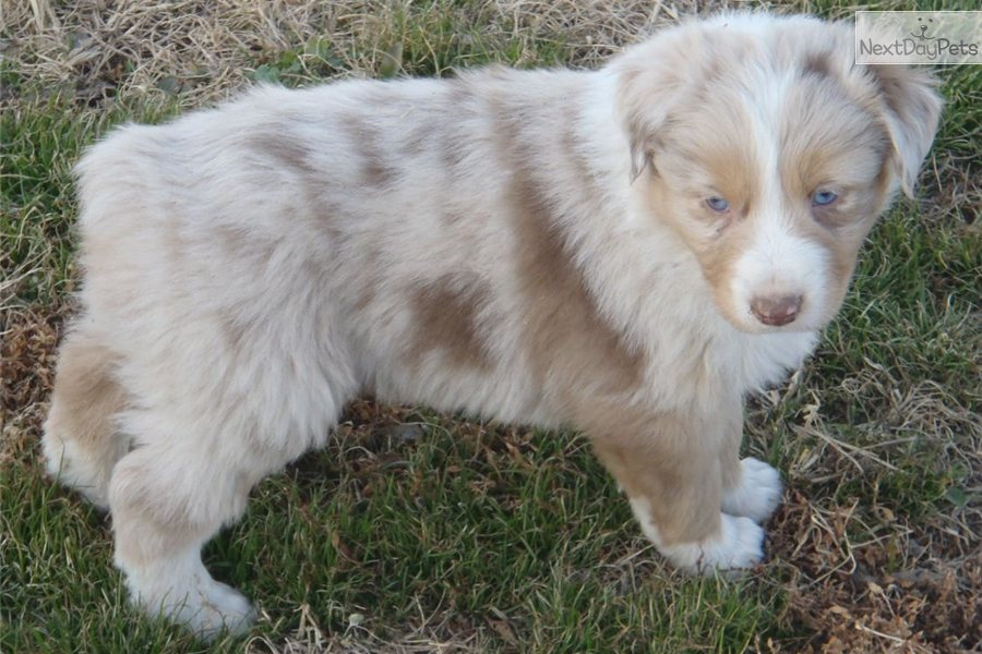 Red Merle Australian Shepherd Puppies for Sale