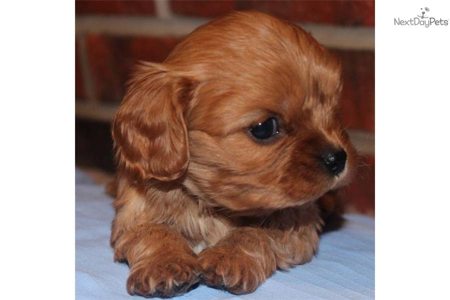 Cute Cavalier King Charles Spaniel Puppy Cavalier King Charles Spaniel