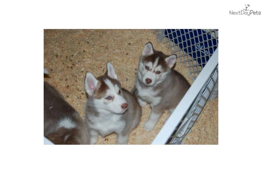 Siberian Husky For Sale In Sacramento