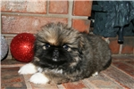 Picture of AKC Female Pekingese